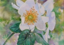 Roses blanches et insecte