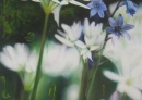 Fleurs blanches et bleues huile
